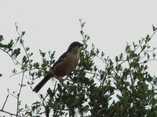 Southern Boubou Shrike (Laniarius ferrugineus) in the Bontebok National Park