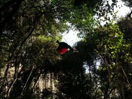Knysna Loerie (Tauraco corythaix), Birds of Eden