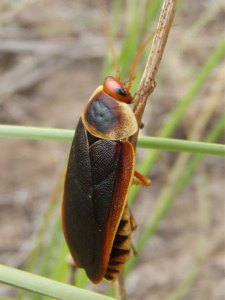 Table Mountain Cockroach (Aptera fusca), picture courtesy of Michelle du Toit