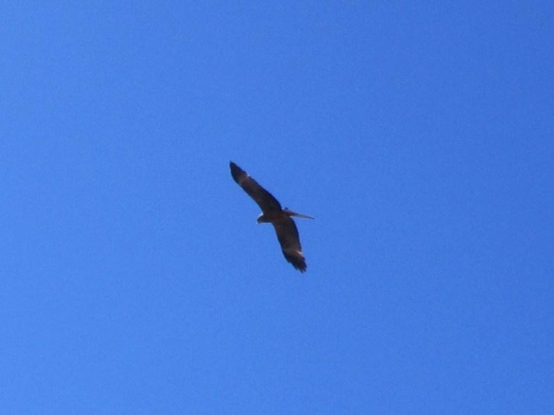 Yellow-billed Kite (Milvus aegyptius)