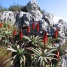 Aloes on Table Mountain