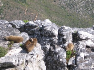 Dassies (Procavia capensis) on Table Mountain