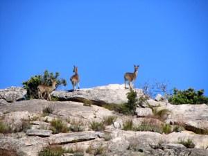 Klipspringer (Oreotragus oreotragus) in Groot Winterhoek, Western Cape