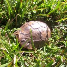 Leopard Tortoise, Stigmochelys pardalis, Cape Point Nature Reserve
