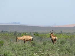 Red Hartebeest (Alcelaphus caama) in Bontebok National Park