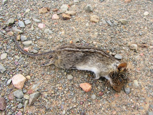 Striped Mouse, Cederberg