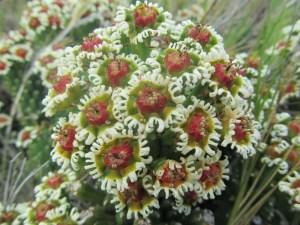 Vingerpol (Euphorbia caput-medusae)