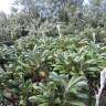 Oldenburgia grandis, Kirstenbosch