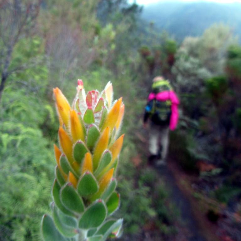 Mimetes pauciflorus, Day #2 Outeniqua Hiking Trail