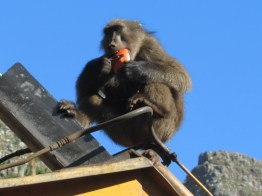 Chacma baboon eating headphones, Tokai Arboretum