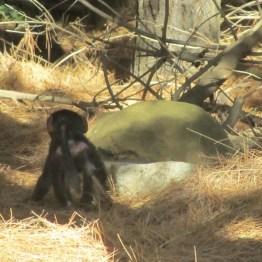 Baby Chacma baboon, Tokai Arboretum