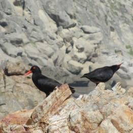 African Black Oystercatcher pair, Robberg Peninsula