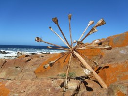 Chandelier Lily skeleton, Robberg Peninsula