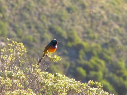 Orange-breasted Sunbird, Kasteelspoort, Table Mountain