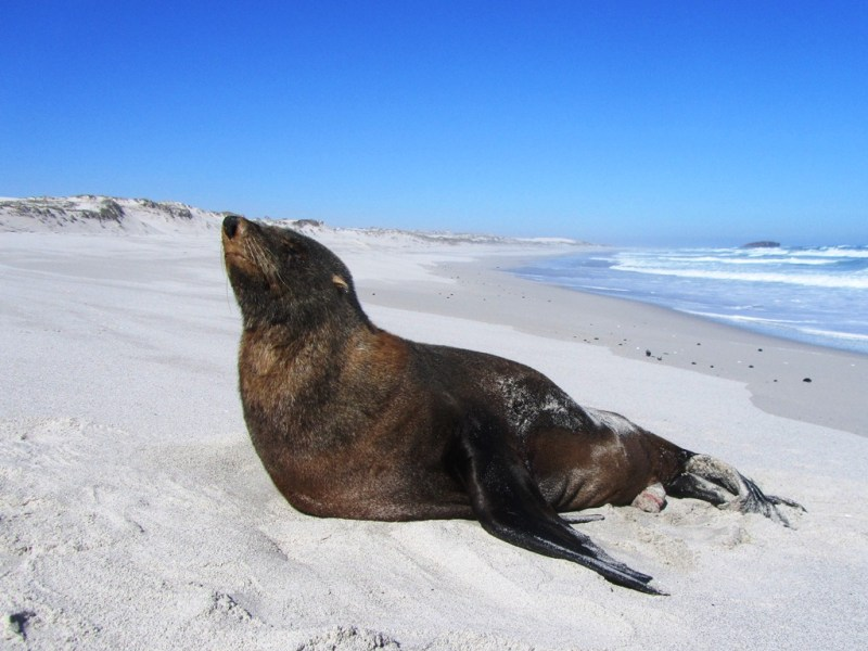 Cape Fur Seal, 16 Mile Beach, West Coast National Park