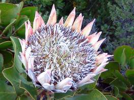 protea_blown