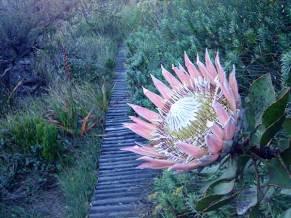 King protea, Protea cynaroides