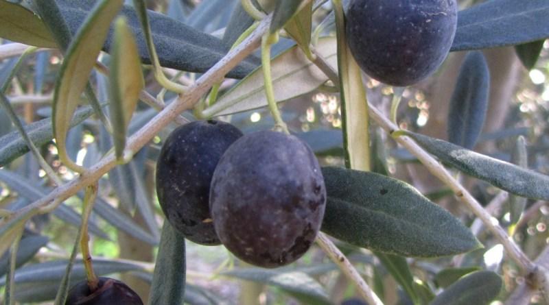 Frantoio olives, Mount Ceder