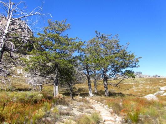 Ceder grove