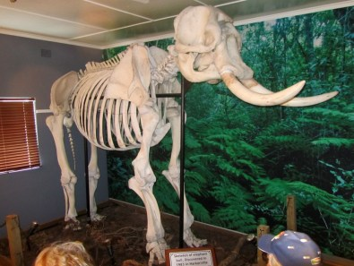 """Skeleton of elephant bull, discovered in 1983 in Harkerville indigenous forest south of """"Garden of Eden"""" about 10 years after it died of old age."""