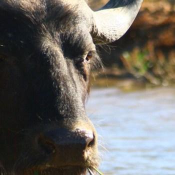 Inverdoorn Game Reserve Buffalo