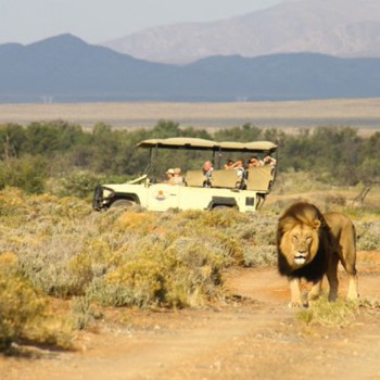 Inverdoorn Game Reserve Lion