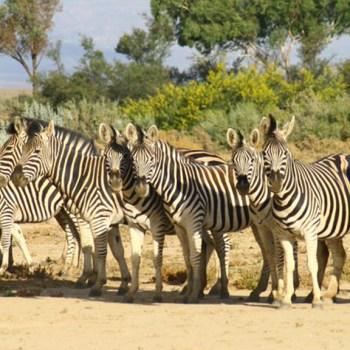 Inverdoorn Game Reserve Zebra