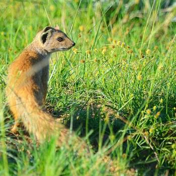 Mark's Camp Yellow Mongoose