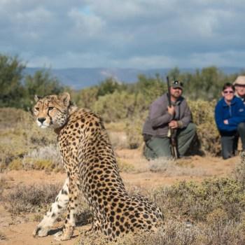 Tilney Manor Cheetah