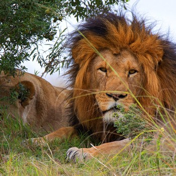 Tree Top Safari Lodge Lion