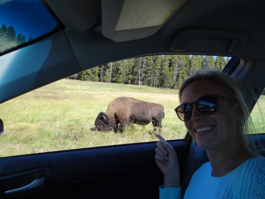 Yellowstone National Park bison // USA
