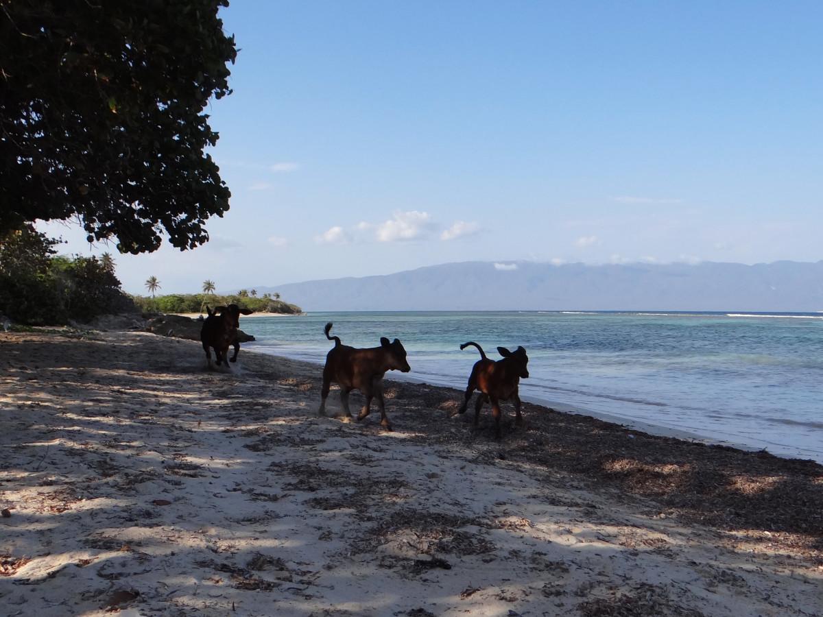 Cows on the beach // Pedernales