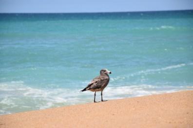 Pacific Seagull Victoria Australia