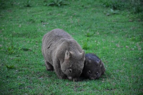 Wombats at Kangaroo Valley New South Wales Australia