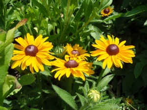 Black eyed susan - perennial for dry , sunny spot, but it will also bloom in part shade
