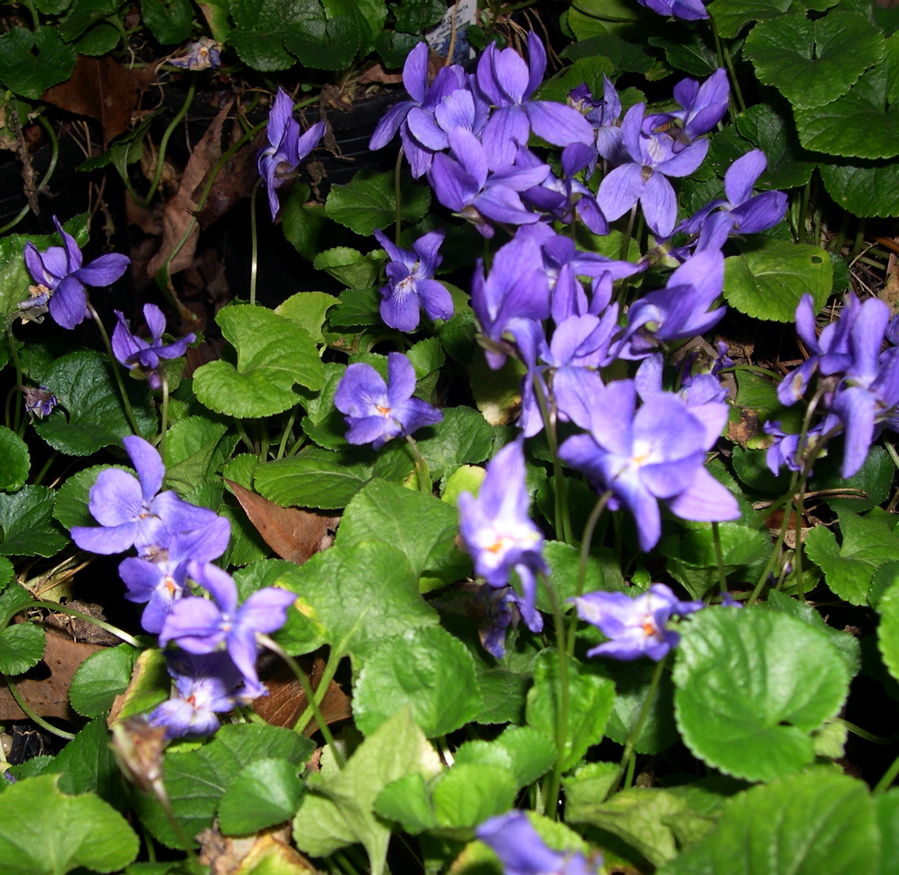 The Search For Fragrant Spring Violets Capemay Blog