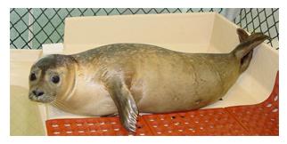 Harbor-Seal-Rehab