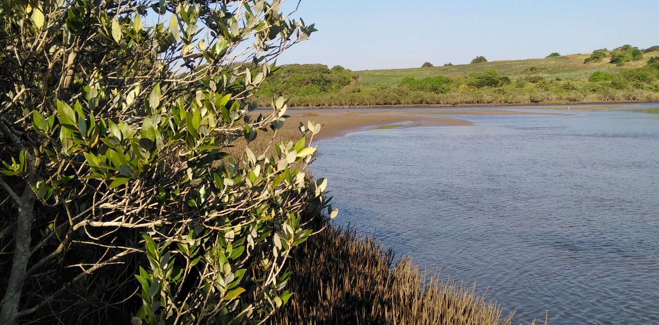 How South Africa's mangrove forests store carbon and why it matters