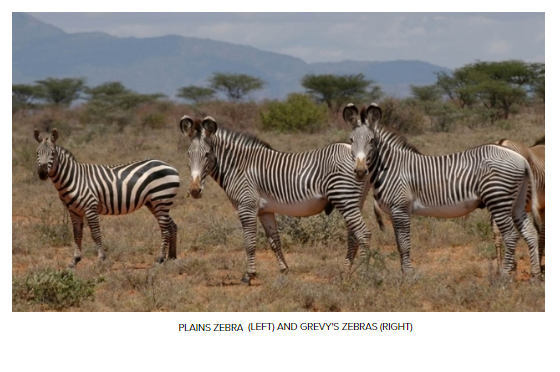 PHOTO: Grevy's Zebra Trust