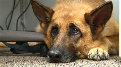 Lexy, a therapy dog at Fort Bragg, N.C.  (AP Photo/Alex Sanz)