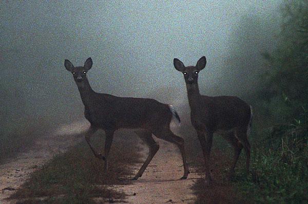 A threat from deer (Photo: The Virginian Pilot, file)