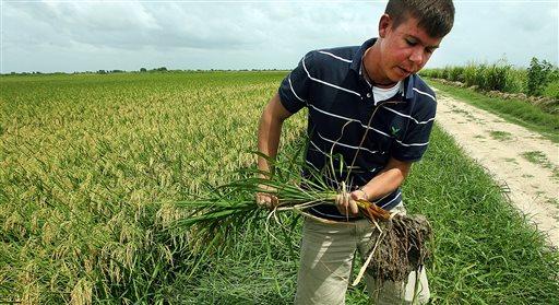 Economist and rice farmer Thomas Wynn  (AP Photo/Austin American-Statesman, Alberto Martinez)