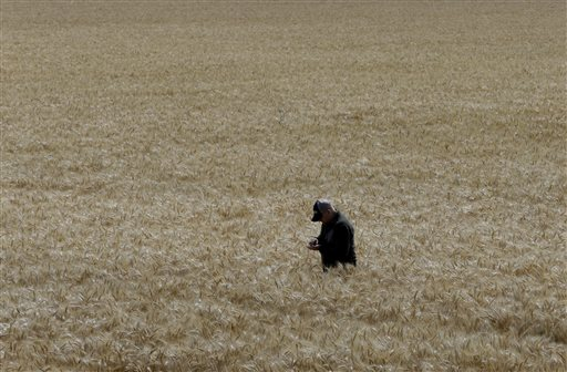 Gino Celli inspects wheat nearing harvest on his farm near Stockton, Calif. (AP Photo/Rich Pedroncelli)