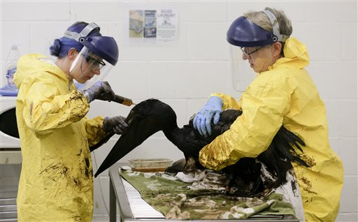 Staff members and volunteers work to clean oil off a brown pelican at the International Bird Rescue office in the San Pedro area of Los Angeles. (AP Photo/Chris Carlson)