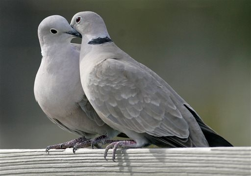 """FILE- This Feb. 12, 2009, file photo shows two turtle doves in St. George Island, Fla. The cost of two turtle doves rose 11.5 percent, according to the 32nd annual PNC Wealth Management Christmas Price Index released Monday, Nov. 29, 2015. Monday marks the 32nd year that the Pittsburgh-based bank tracks inflation by pricing the cost of the items listed in the """"The Twelve Days of Christmas"""" carol. (AP Photo/Phil Coale, File)"""