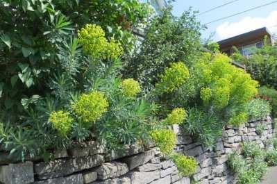 Mediterranean spurge (Euphorbia characias)