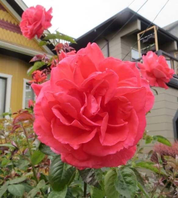 A double rose (Images: John Chau)