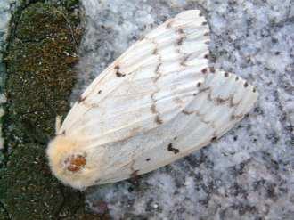An Adult female gypsy moth