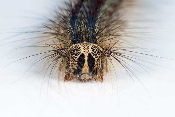 A gypsy moth caterpillar (Image: Wikipedia)
