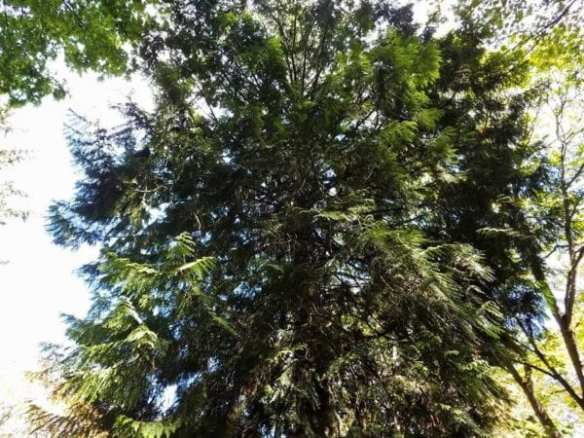The large cedar tree where LeBaron's son's body was found (Image: Jonathan LeBaron with permission to CHS)
